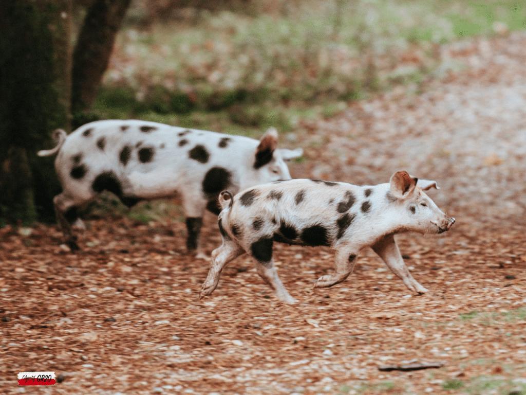 Traversée de cochons sauvages