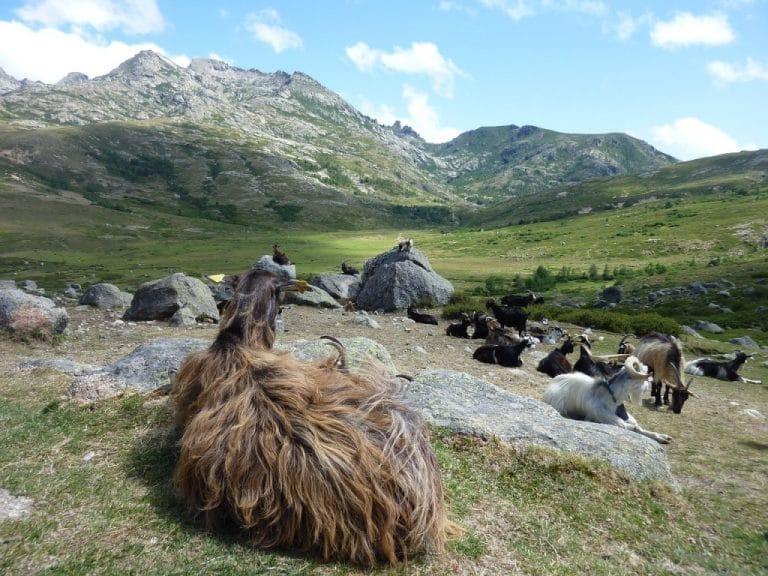 transhumance troupeau mouton corse GR20